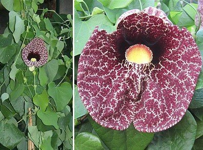 Calico Flower   Dutchman s Pipe