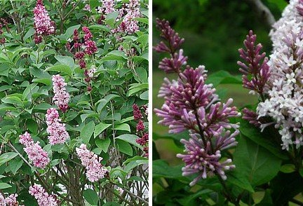 Wolf s Lilac