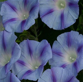 Morning Glory  Decapo Light Blue