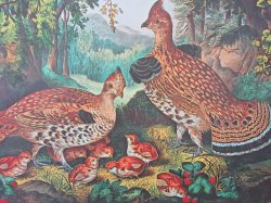 '.C & I Ruffed Grouse and Young.'