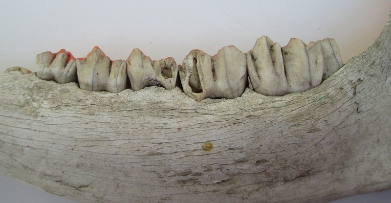 Cow Jawbone with Teeth, Real and Old