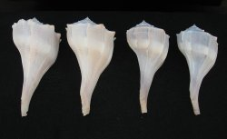 Lightning Whelk Shells, Qty 4 Left Handed, 5 to 5.75 inch