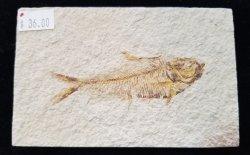 Fossil Fish - Diplomystus