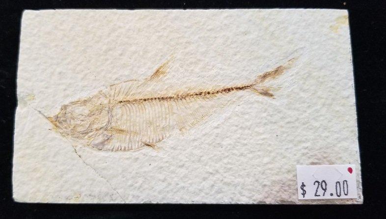 Image 0 of Fossil Fish - Dyplomystus