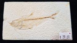 Fossil Fish - Dyplomystus
