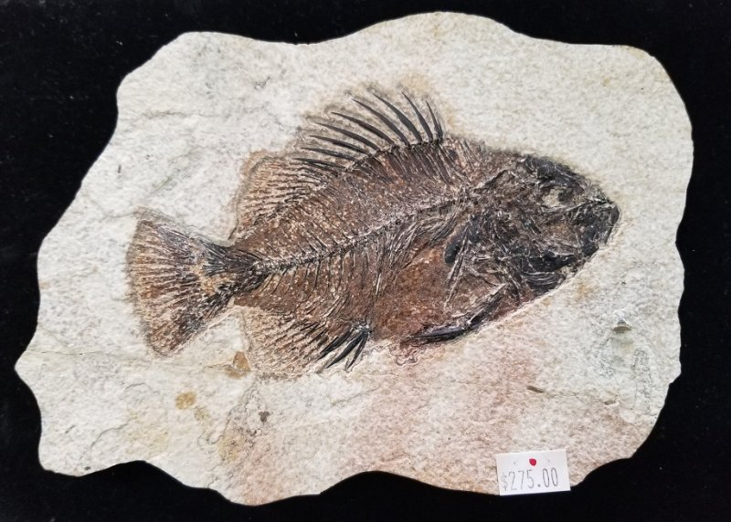 Image 0 of Fossil Fish - Priscacara