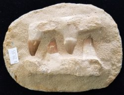 Mosasaur Teeth in Jaw
