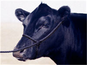 Halter Black Rope (Cow) 1/2 Poly Each By Stone