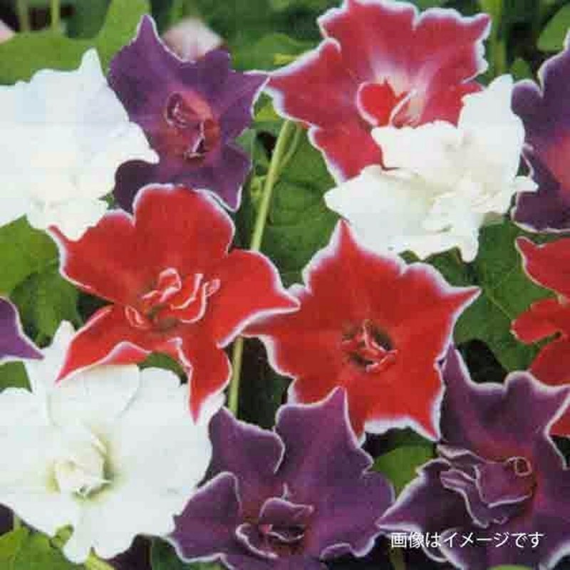 Image 1 of A Japanese Morning Glory *MIXED* Ipomoea Seed Assortment