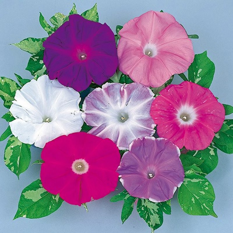 Image 2 of A Japanese Morning Glory *MIXED* Ipomoea Seed Assortment