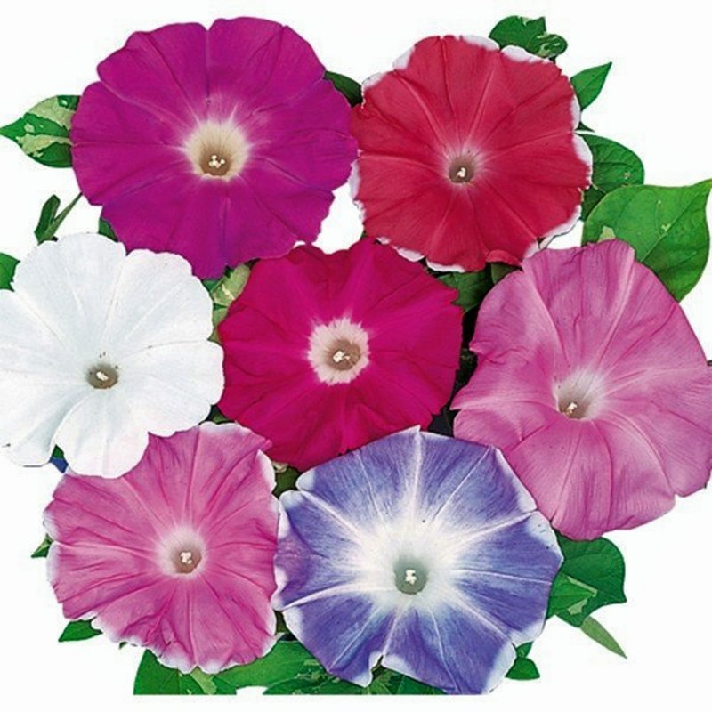 Image 3 of A Japanese Morning Glory *MIXED* Ipomoea Seed Assortment