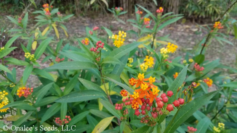 Image 1 of Butterfly Milk Weed: Mixed Scarlet & Gold (yellow/orange) Seeds *Monarchs*