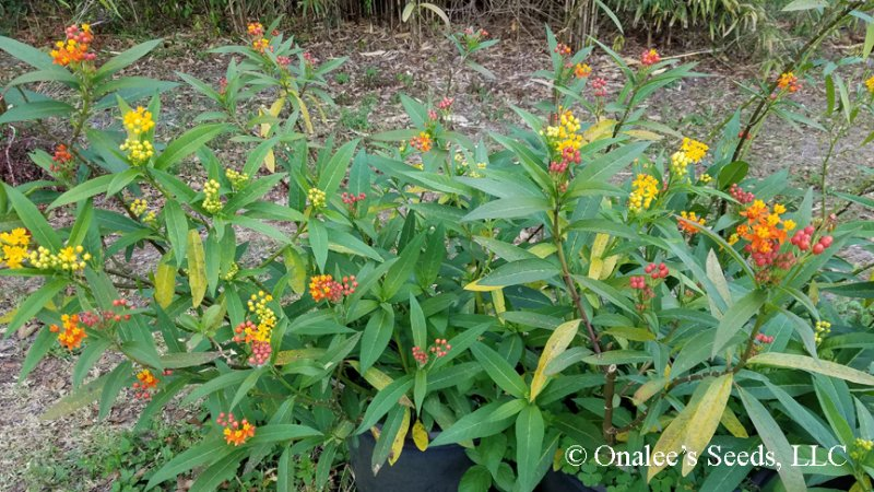 Image 2 of Butterfly Milk Weed: Mixed Scarlet & Gold (yellow/orange) Seeds *Monarchs*
