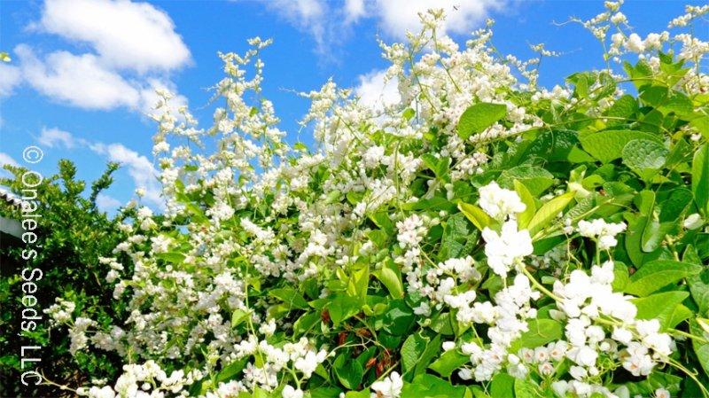 Coral Vine: WHITE Seeds (Antigonon leptopus ''ALBA''), Pollinator attractor!