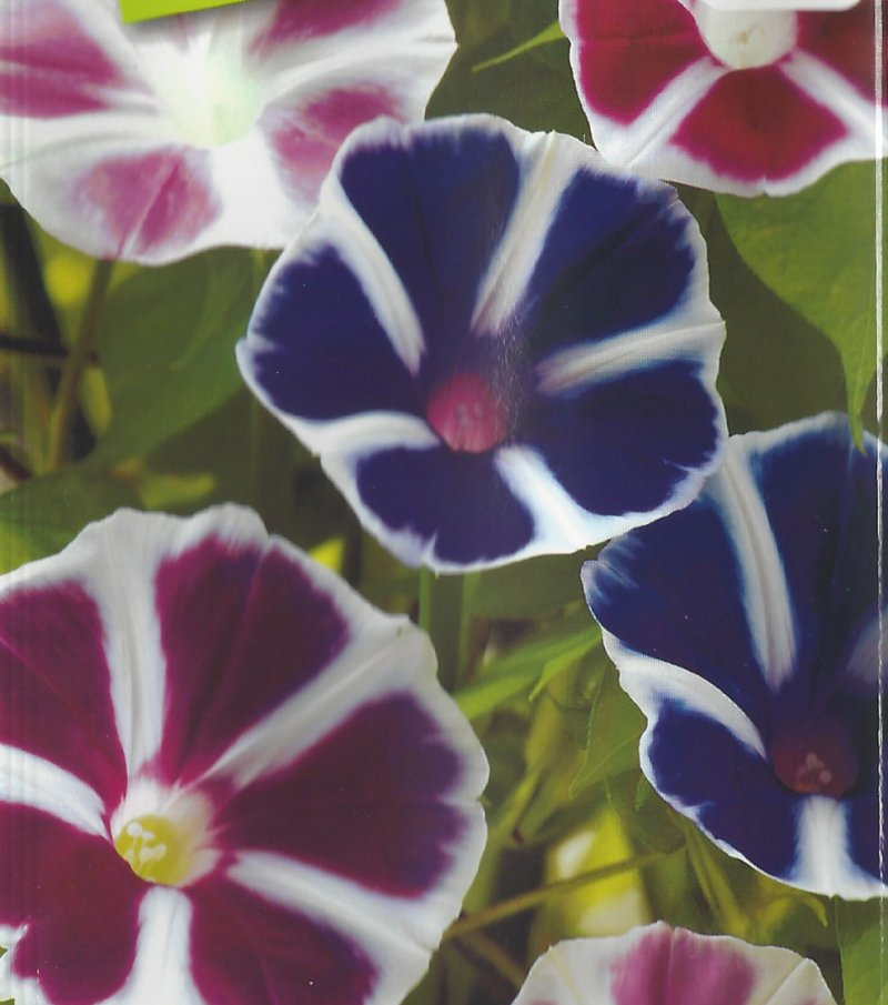 Japanese Morning Glory Seeds: Youjiro , Ornamental Windmill, Mixed Colors