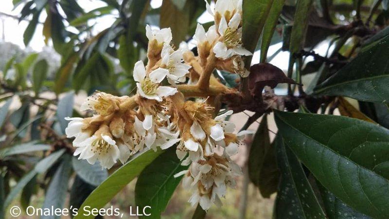 Image 2 of Loquat, Japanese Plum Tree, Eriobotrya japonica Seeds