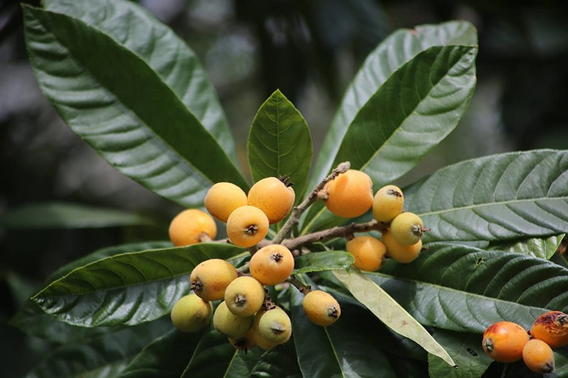 Loquat, Japanese Plum Tree, Eriobotrya japonica Seeds