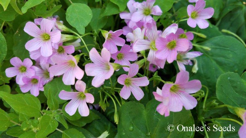 Image 2 of Oxalis Pink Flowering, Wood Sorrel, Green Leaf Shamrock Plant.
