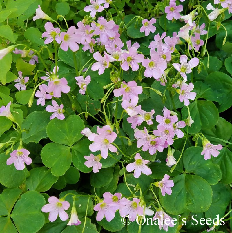 Image 3 of Oxalis Pink Flowering, Wood Sorrel, Green Leaf Shamrock Plant.