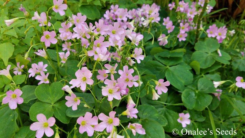 Image 4 of Oxalis Pink Flowering, Wood Sorrel, Green Leaf Shamrock Plant.