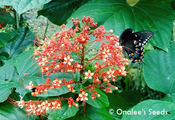 Image 3 of Pagoda Flower, Orange flowers, Butterfly fav. Clerodendrum paniculatum L., Plant