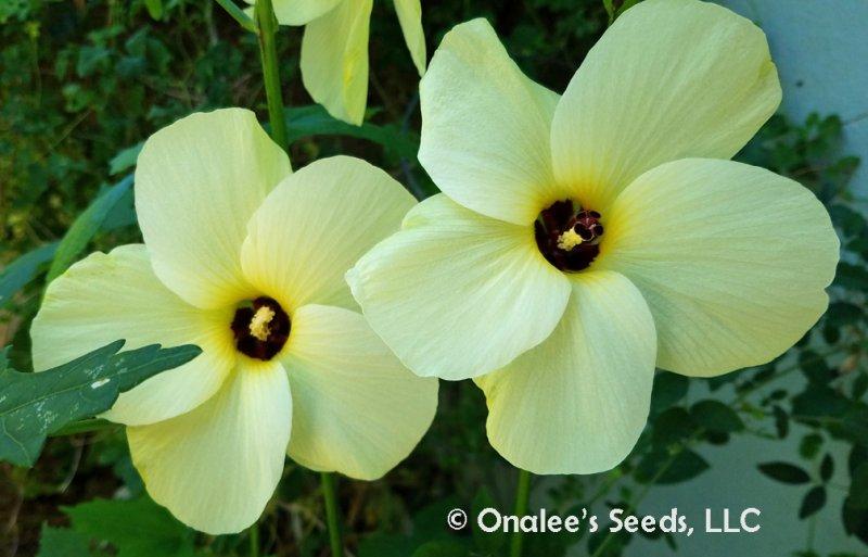 Image 3 of Sunset (Manihot) Sweet, Edible Hibiscus (Abelmoschus manihot) Seeds