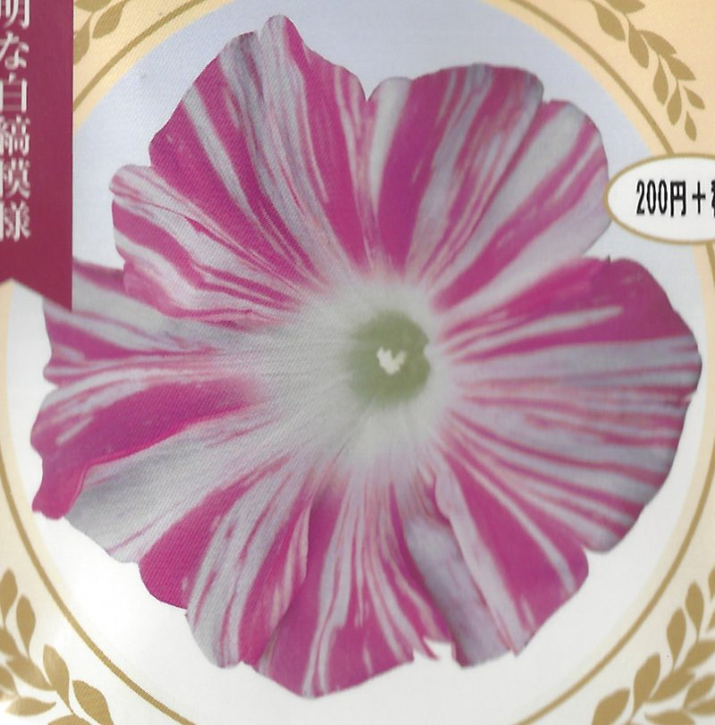 Image 0 of Japanese Morning Glory Seeds: Miko No Mai, Sibyl's Dance  Large Pink/white