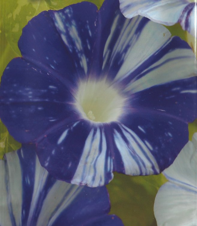 Japanese Morning Glory: Matsukaze, Wind in the Pines Purple blooms,white stripes