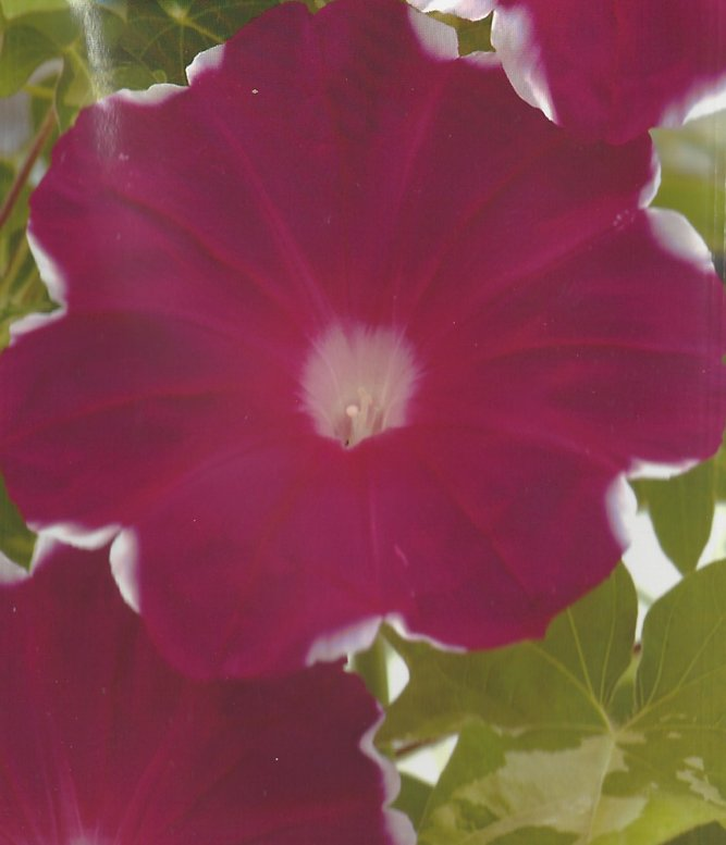 Japanese Morning Glory Seeds: Koukan (Kohkan),Red Crown, Ipomoea Nil