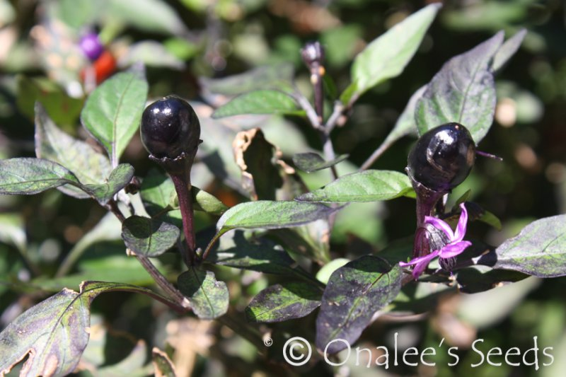 Image 0 of Pretty in Purple, HOT Pepper Seeds, Capsicum annuum Ornamental and edible!