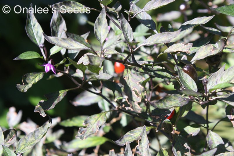 Image 1 of Pretty in Purple, HOT Pepper Seeds, Capsicum annuum Ornamental and edible!