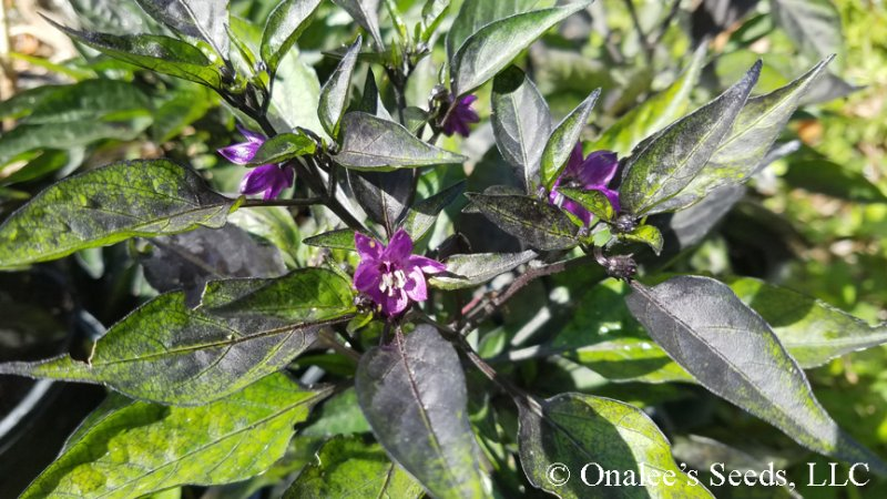 Image 2 of Pretty in Purple, HOT Pepper Seeds, Capsicum annuum Ornamental and edible!