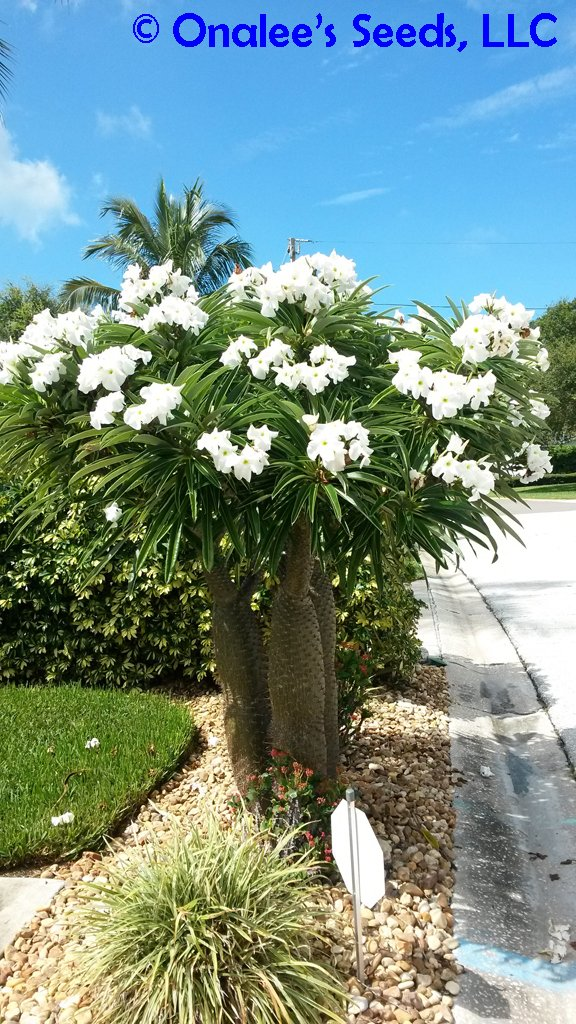 Image 0 of Madagascar Palm, Pachypodium lamerei, Succulent, Cactus seeds Tropical, blooming
