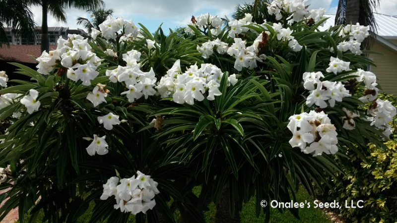 Image 1 of Madagascar Palm, Pachypodium lamerei, Succulent, Cactus seeds Tropical, blooming