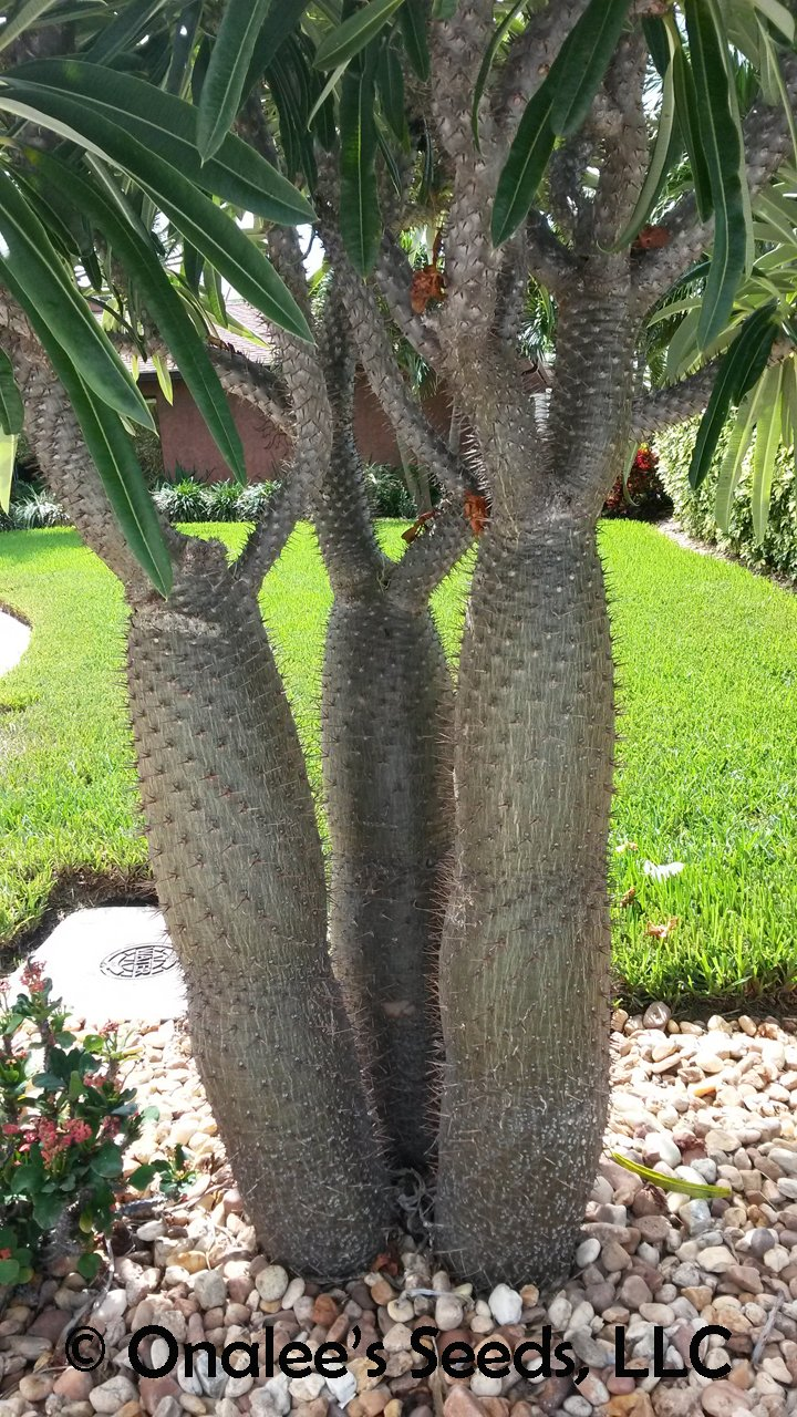 Image 2 of Madagascar Palm, Pachypodium lamerei, Succulent, Cactus seeds Tropical, blooming