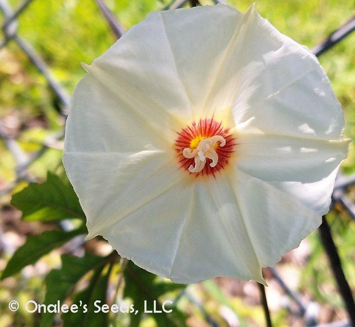Alamo Vine, Noyau Vine, Split Leaf Morning Glory, Merremia dissecta, Convulvulus