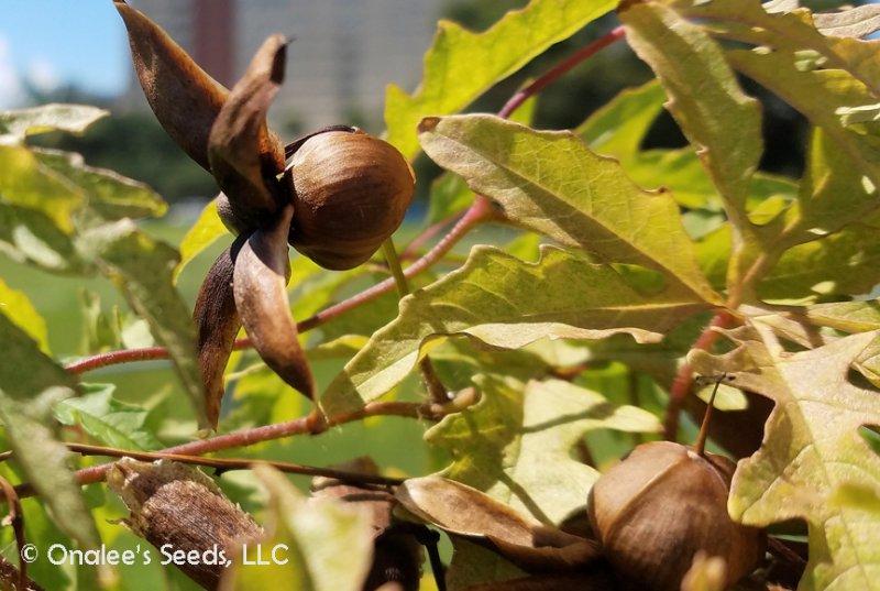 Image 2 of Alamo Vine, Noyau Vine, Split Leaf Morning Glory, Merremia dissecta, Convulvulus