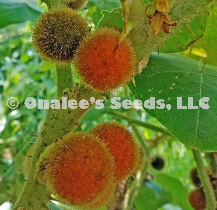 Naranjilla, Solanaceae, Solanum quitoense, Naranjita de Quito, Spined Seeds