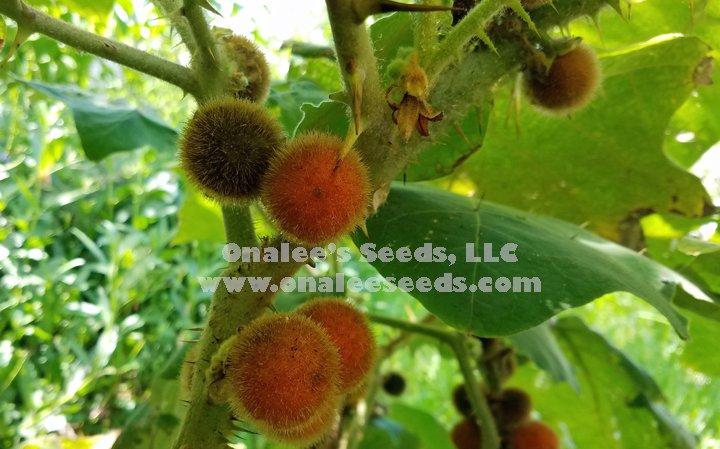 Image 1 of Naranjilla, Solanaceae, Solanum quitoense, Naranjita de Quito, Spined Seeds