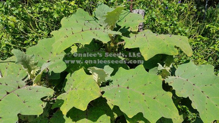 Image 3 of Naranjilla, Solanaceae, Solanum quitoense, Naranjita de Quito, Spined Seeds