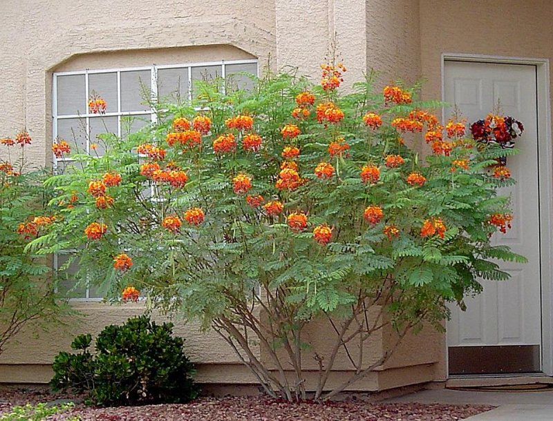 Pride of Barbados / Dwarf Poinciana Seeds. Flowering Bush/Tree red/orange