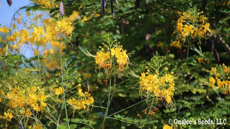 Image 1 of Yellow Pride of Barbados / Dwarf Poinciana Seeds. Flowering Bush/Tree