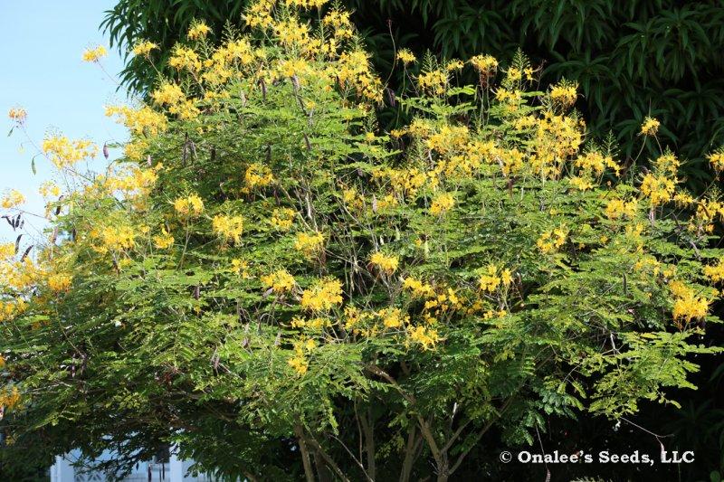 Image 2 of Yellow Pride of Barbados / Dwarf Poinciana Seeds. Flowering Bush/Tree