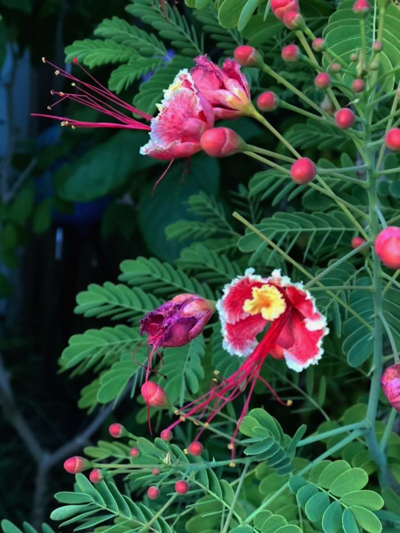 Image 0 of Pink Pride of Barbados / Dwarf Poinciana Seeds. Flowering Bush/Tree