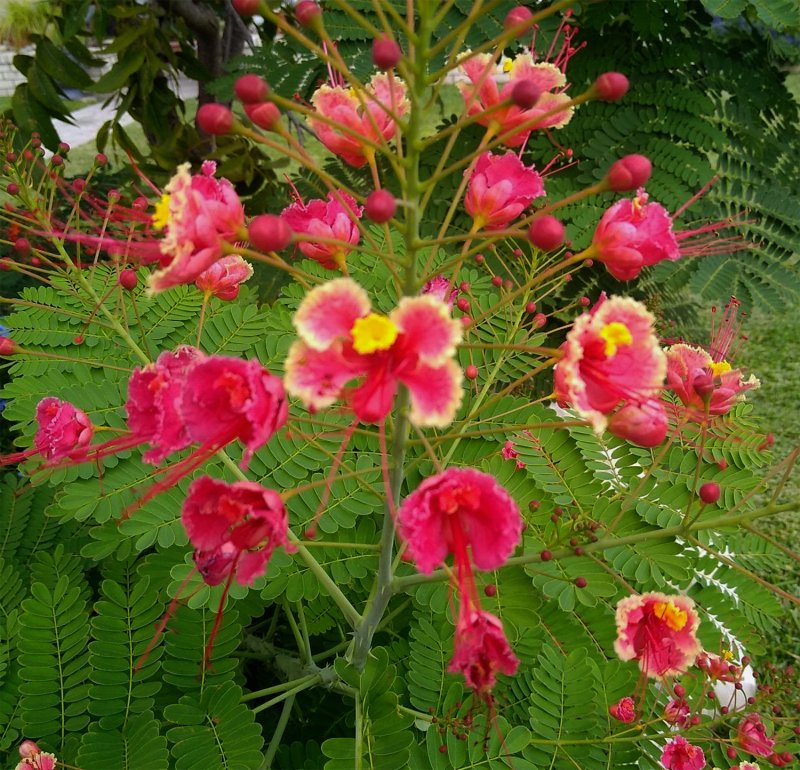 Image 1 of Pink Pride of Barbados / Dwarf Poinciana Seeds. Flowering Bush/Tree