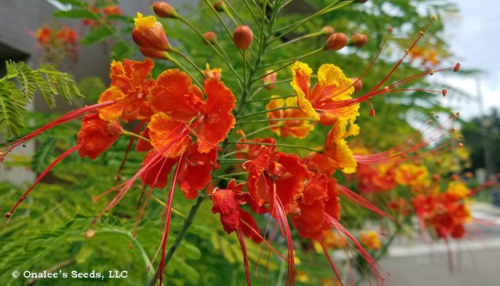 Image 2 of MIXED Red/Yellow Pride of Barbados / Dwarf Poinciana Seeds. Flowering Bush/Tree