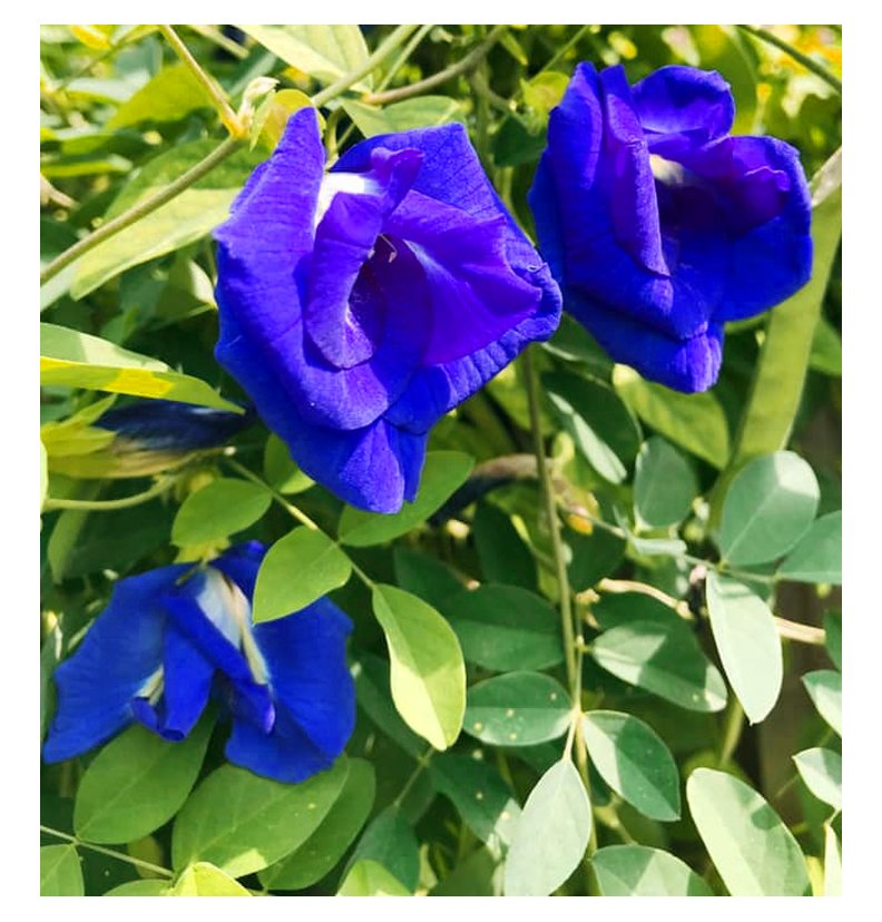 Image 1 of Butterfly Pea Vines: 50/50 mix of seeds for single and double BLUE blooms