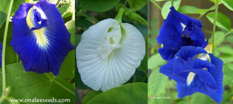 Butterfly Pea Vines: Mixed Seeds: Single & Double Blue and Single White Blooms