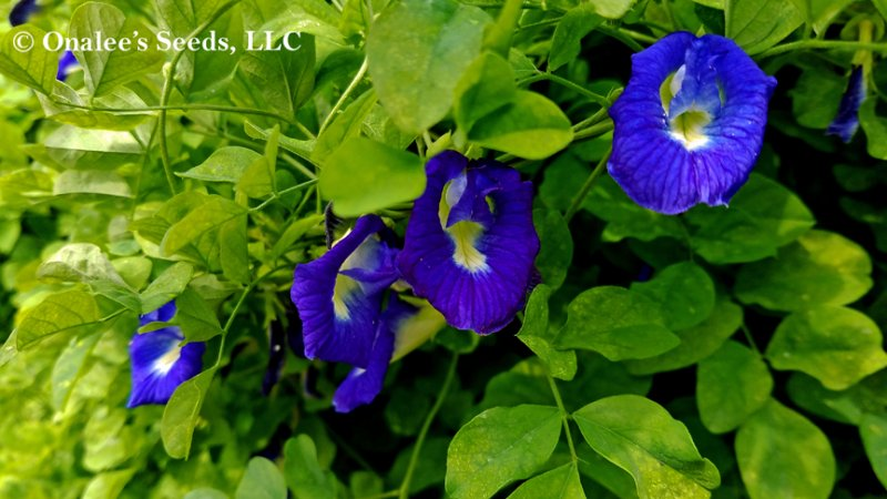 Image 2 of Butterfly Pea Vines: Mixed Seeds: Single & Double Blue and Single White Blooms