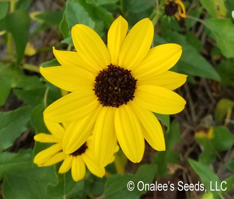 Beach / Dune Sunflower, Beach Daisy, (Helianthus debilis) Groundcover Seeds